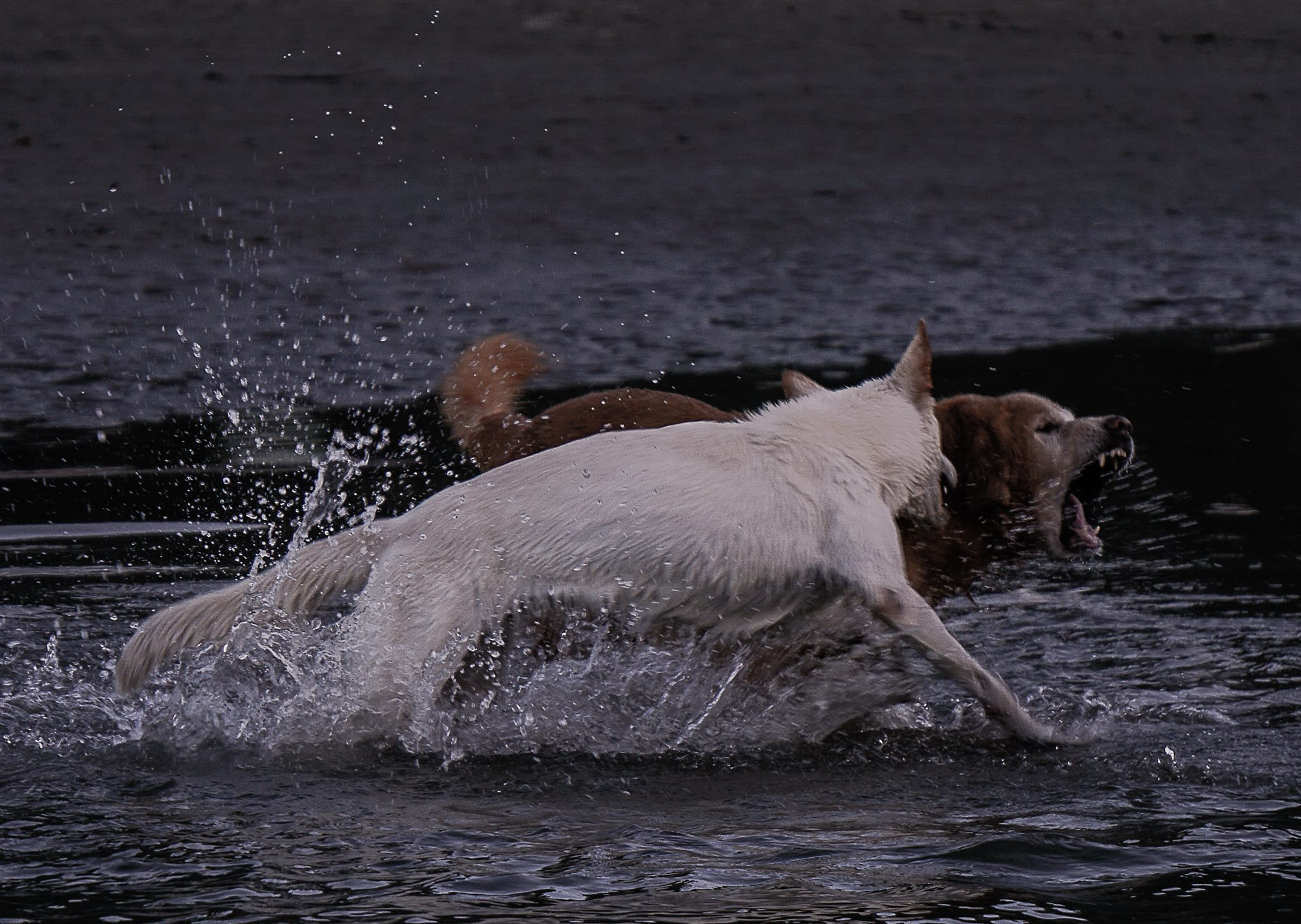 Free stock photo of animal, dogs, fight, pet