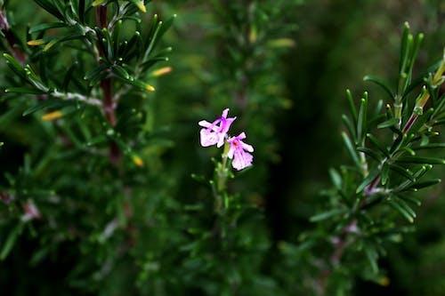 Free stock photo of rosemary