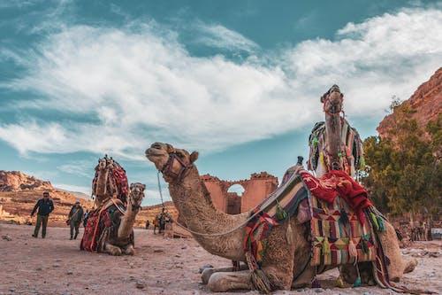 Ilmainen kuvapankkikuva tunnisteilla baduian, Jordan, kameli, petra