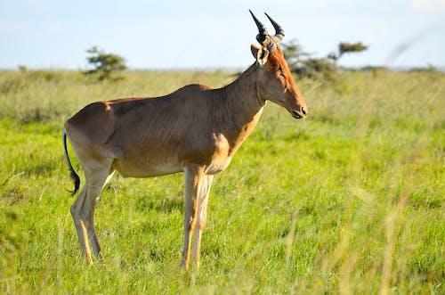 Brown Antelope on Green Grass Field