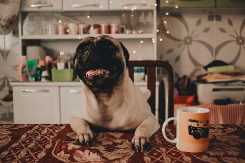 Fawn Pug Lean on the Table Near White Mug