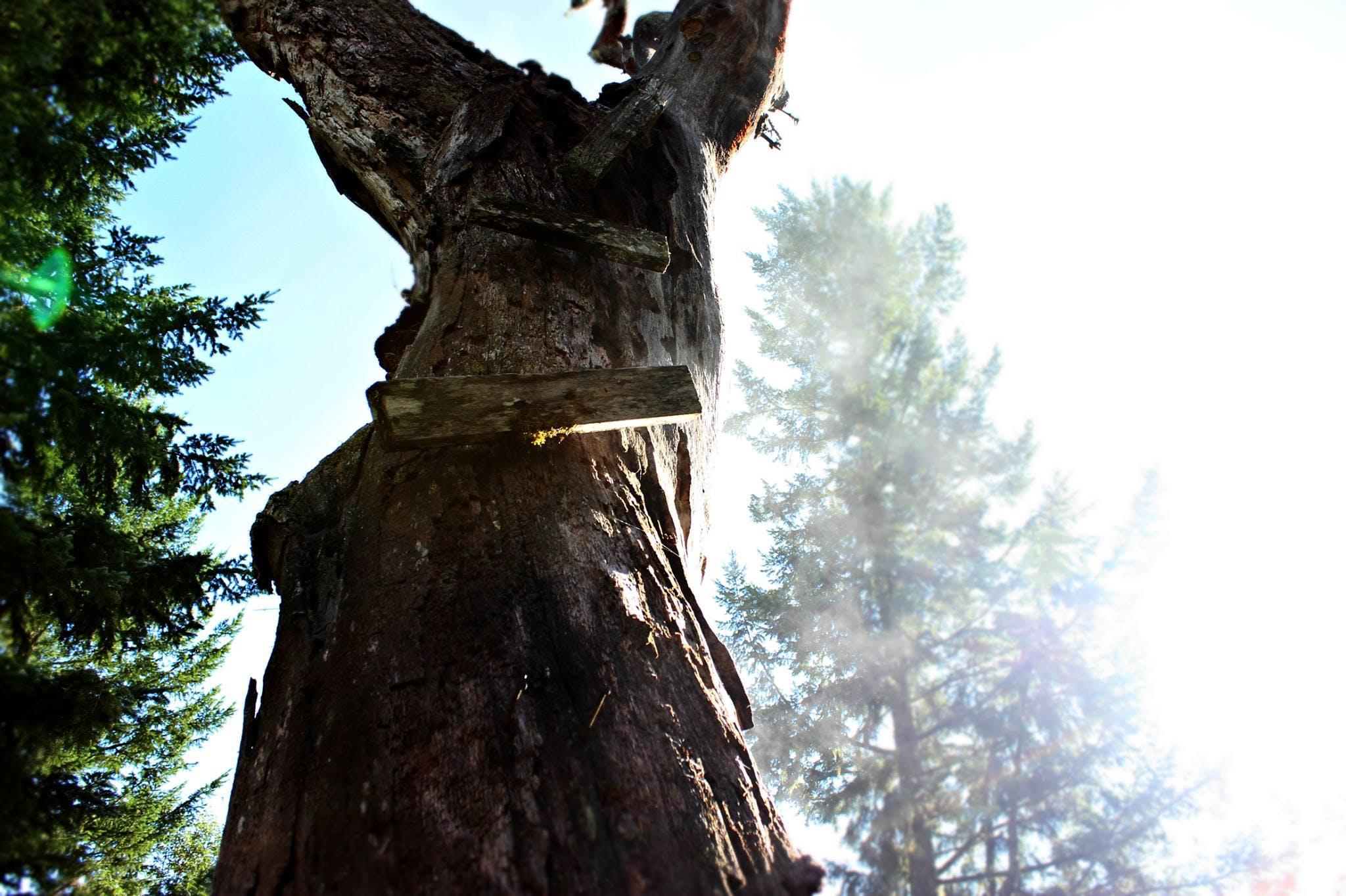 Free stock photo of tree, old, oak, climb