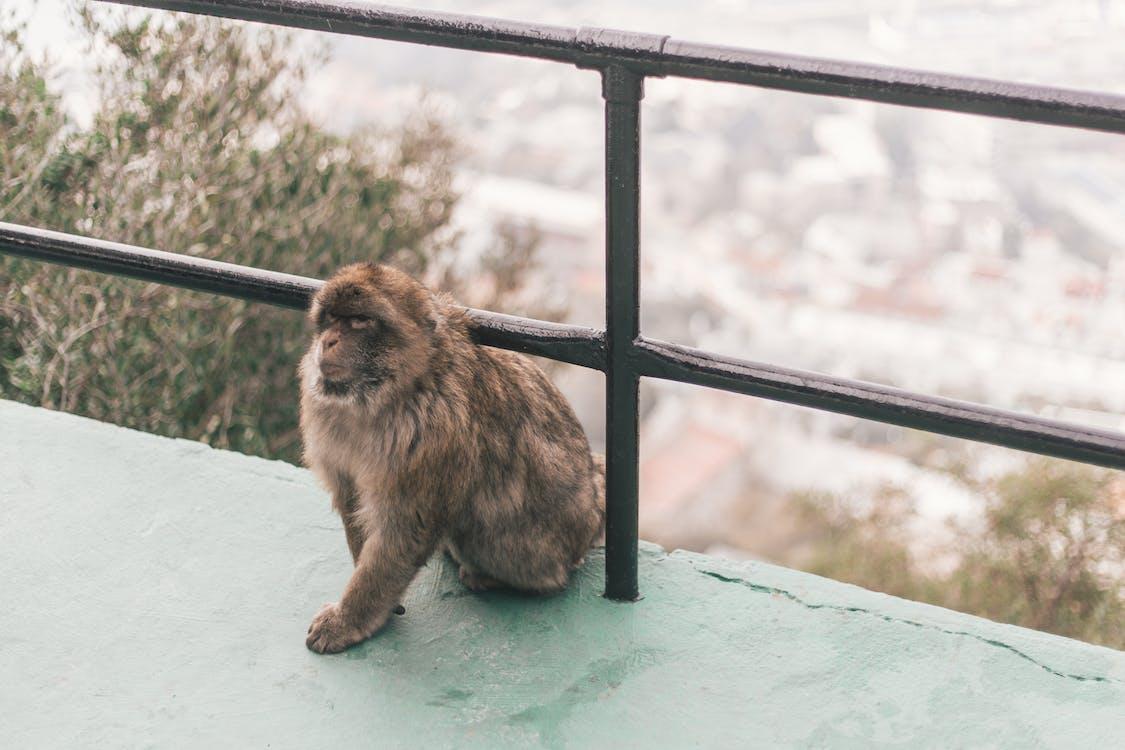 állat, hegy, majom