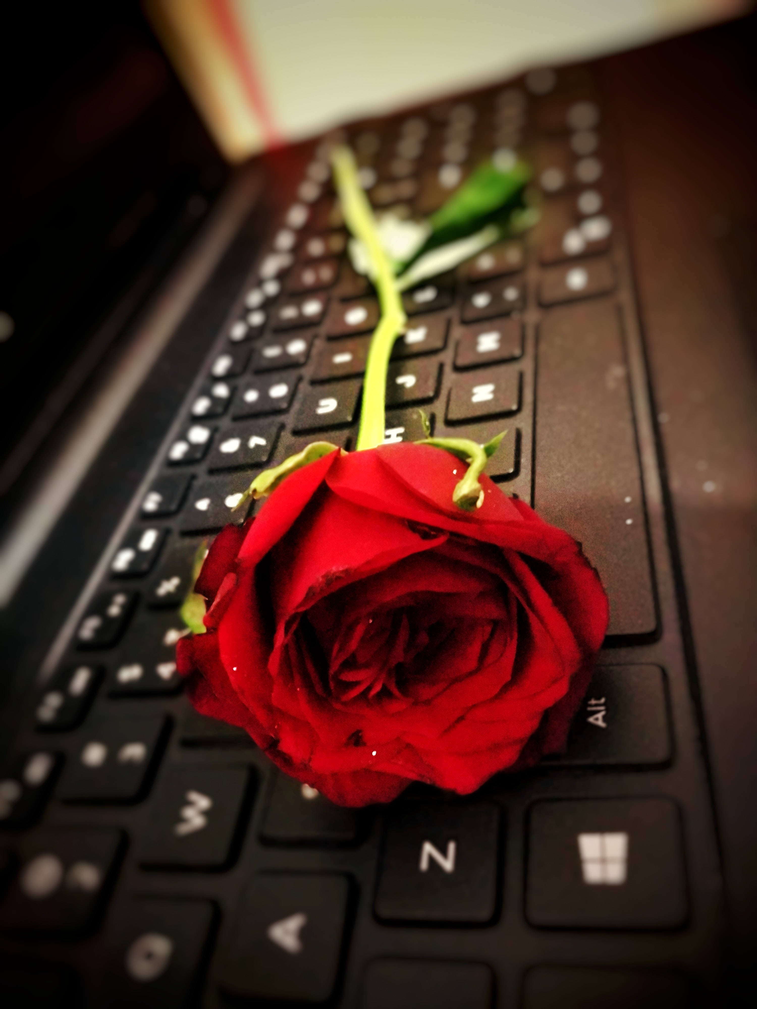 Free stock photo of happy rose day, keyboard, Red Rose