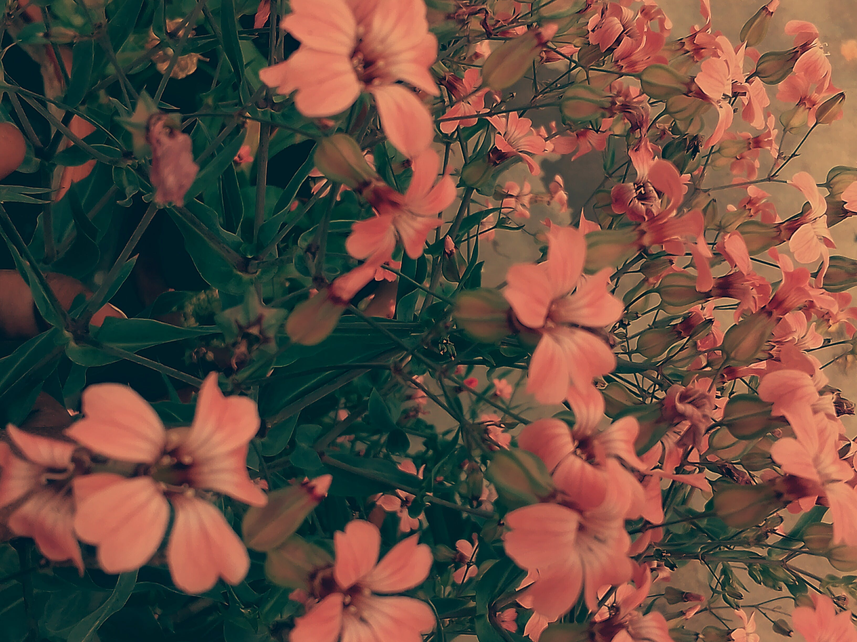 Gratis lagerfoto af 4k-baggrund, aften, blomst, blomst tapet