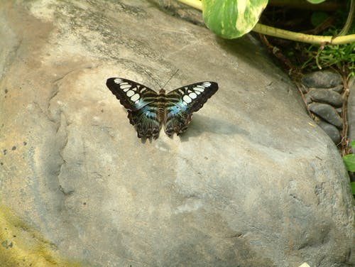 Free stock photo of black, butterfly, colorful, creature