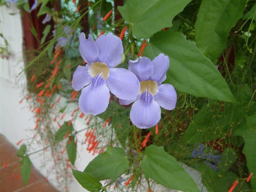Free stock photo of blue, flowers, green, lilac