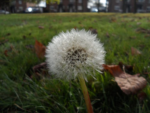 Free stock photo of dandelion, grass, green, nature