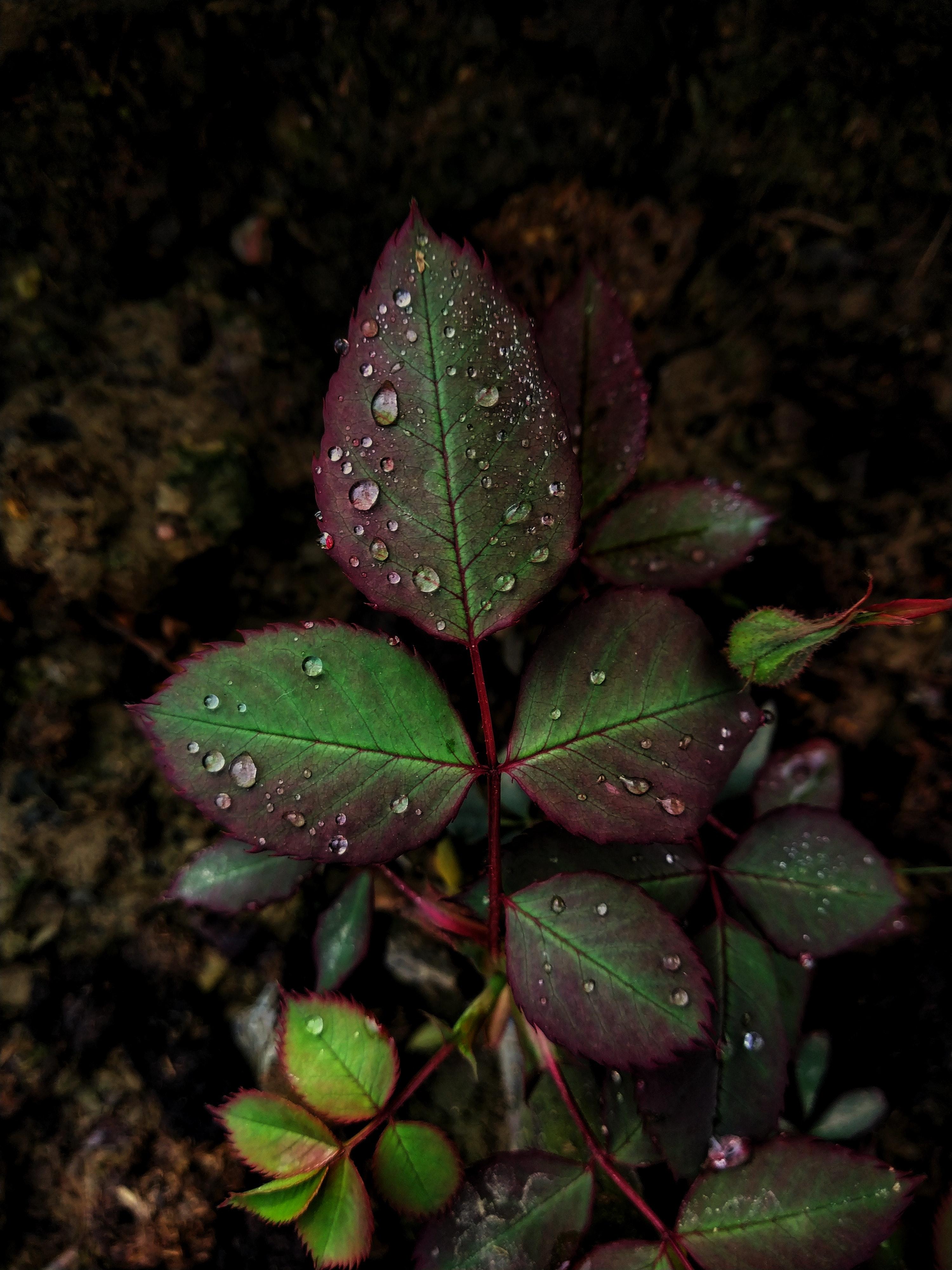 Foto Stok Gratis Tentang Background Hitam Daun Bunga Mawar Daun Daun