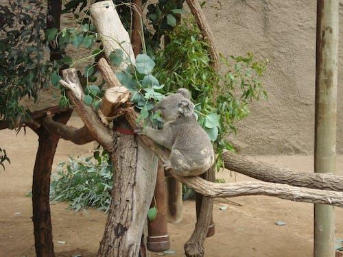 Ingyenes stockfotó állat, állatkert, aranyos, Ausztrália témában