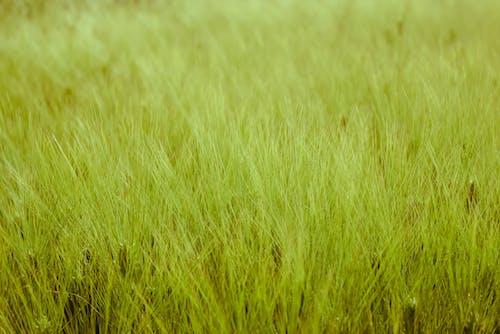 Gratis arkivbilde med grønn, grønn hvete, hvete, tresking
