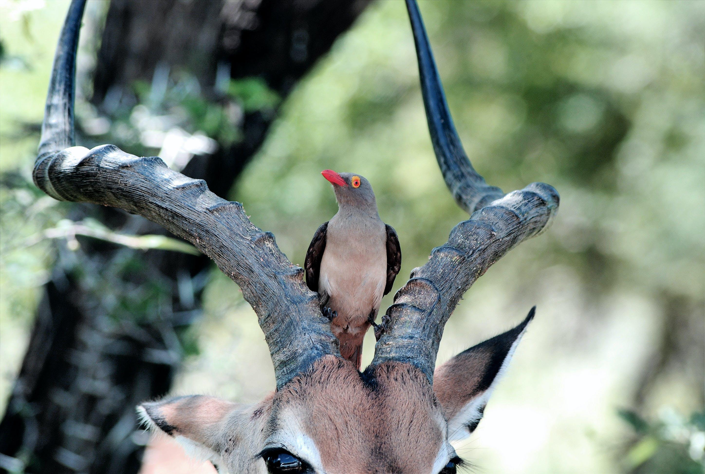 Bird on Antelope's Head