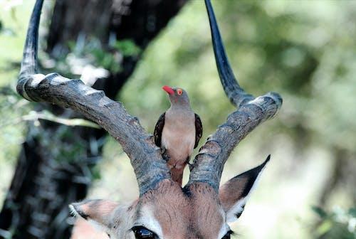 Δωρεάν στοκ φωτογραφιών με άγρια φύση, εξωτικός, κέρατα, κουρνιασμένος