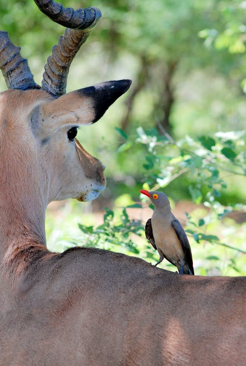 Bird Perched on Gazelle