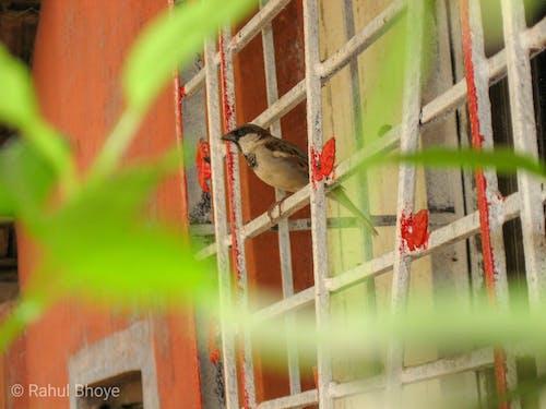 Δωρεάν στοκ φωτογραφιών με ινδικό πουλί