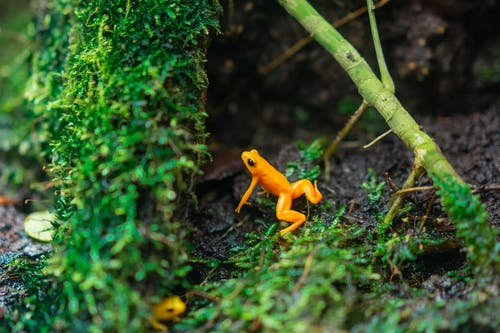 Close Up Photo of Orange Frog About to Jump on Green Grass