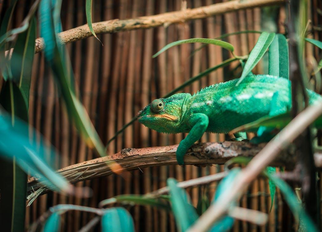 Green Chameleon on Tree Branch