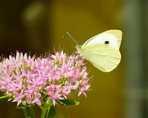 Kostnadsfri bild av blomma, fjäril, fjäril på en blomma, natur