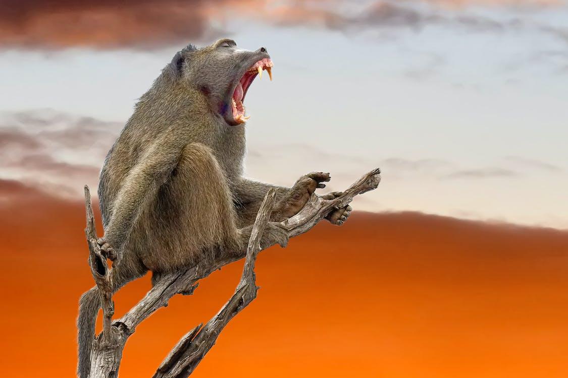 Brown Baboon