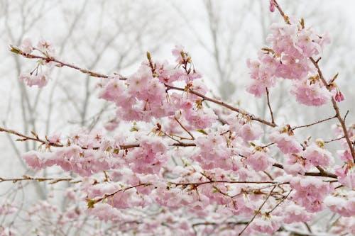 Foto stok gratis berbunga, bunga sakura, ceri, dingin