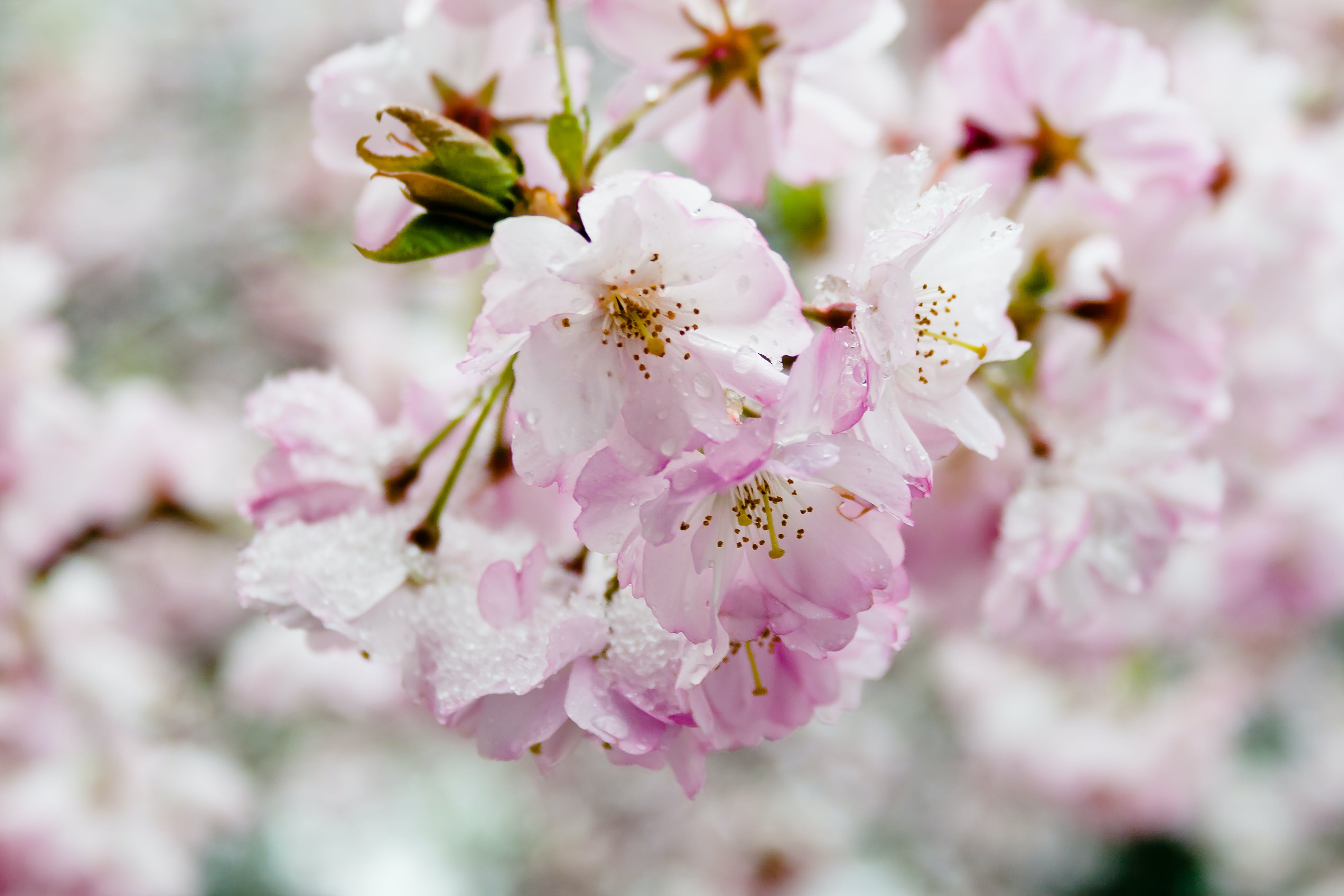 Free stock photo of cherry, cherry blossom, cherry blossoms, cold