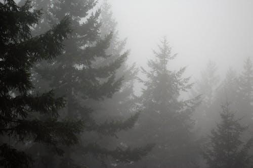 木, 松, 霧の無料の写真素材