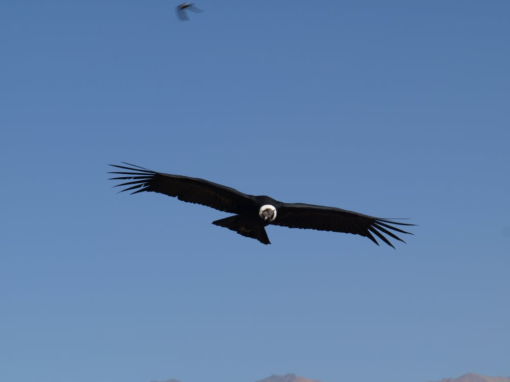 Free stock photo of andes, condor