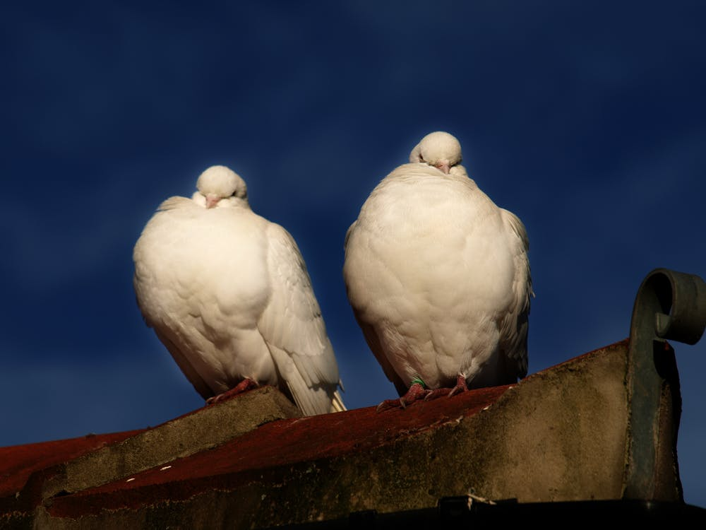 Free stock photo of doves