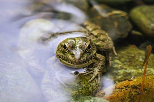 Foto d'estoc gratuïta de aigua, amfibi, animal, foto macro