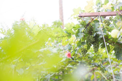 uvas, 綠色, 葡萄藤, 葡萄酒 的 免费素材照片