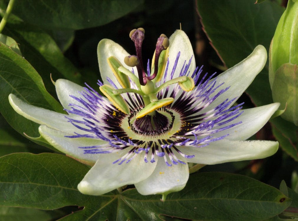 Free stock photo of passion flower