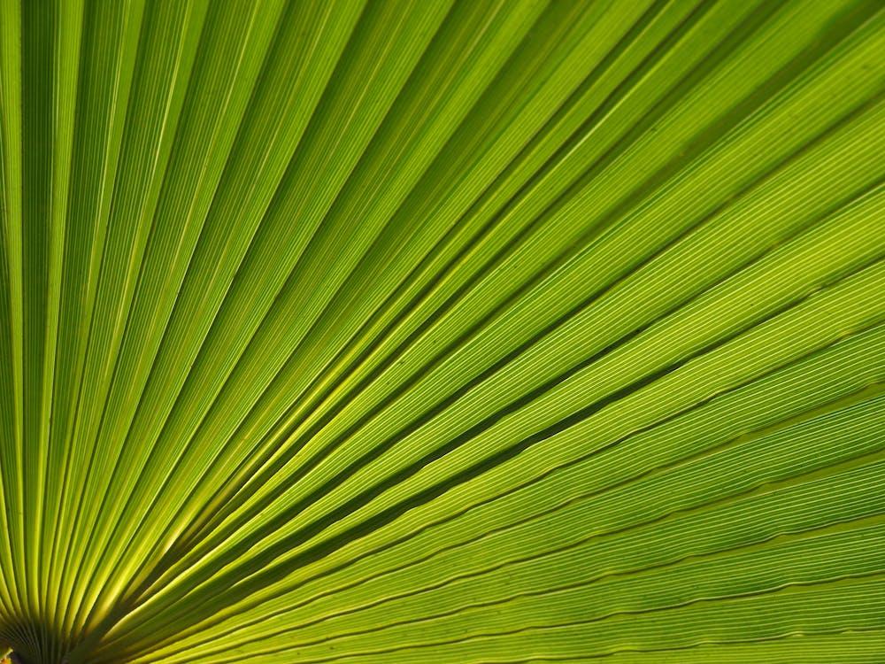 Free stock photo of palm leaf