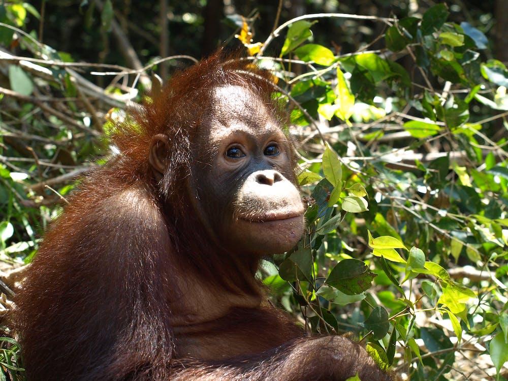 Free stock photo of orangutan