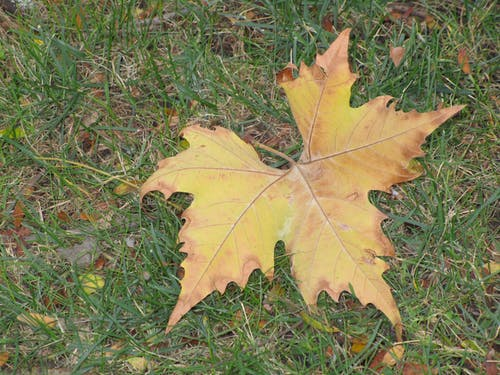 Free stock photo of sycamore leaf on green grass lawn USA