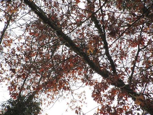 Free stock photo of leaves fall oak sky clouds leaf