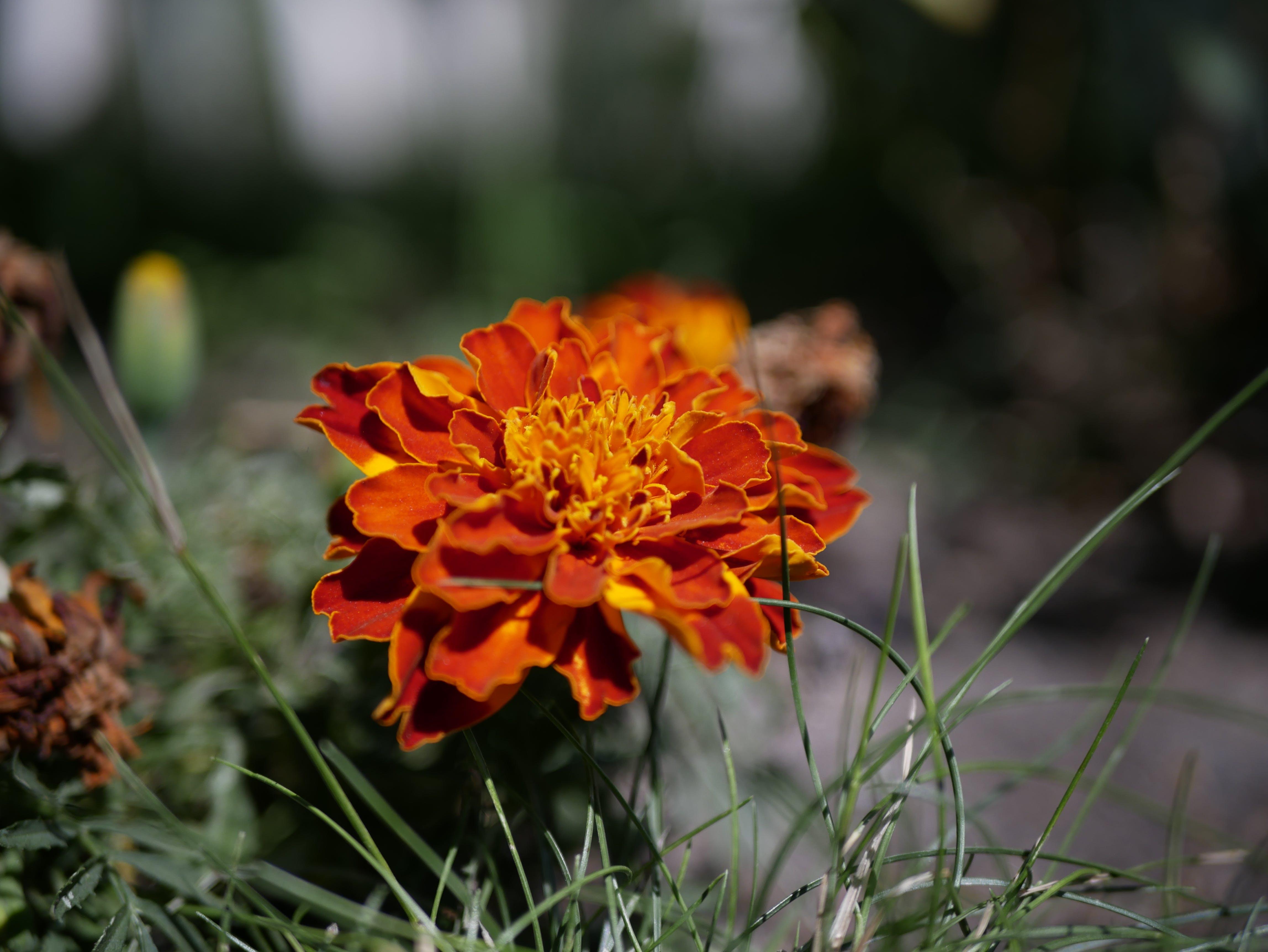 Δωρεάν στοκ φωτογραφιών με kwiaty, lato, trawa, wiosna