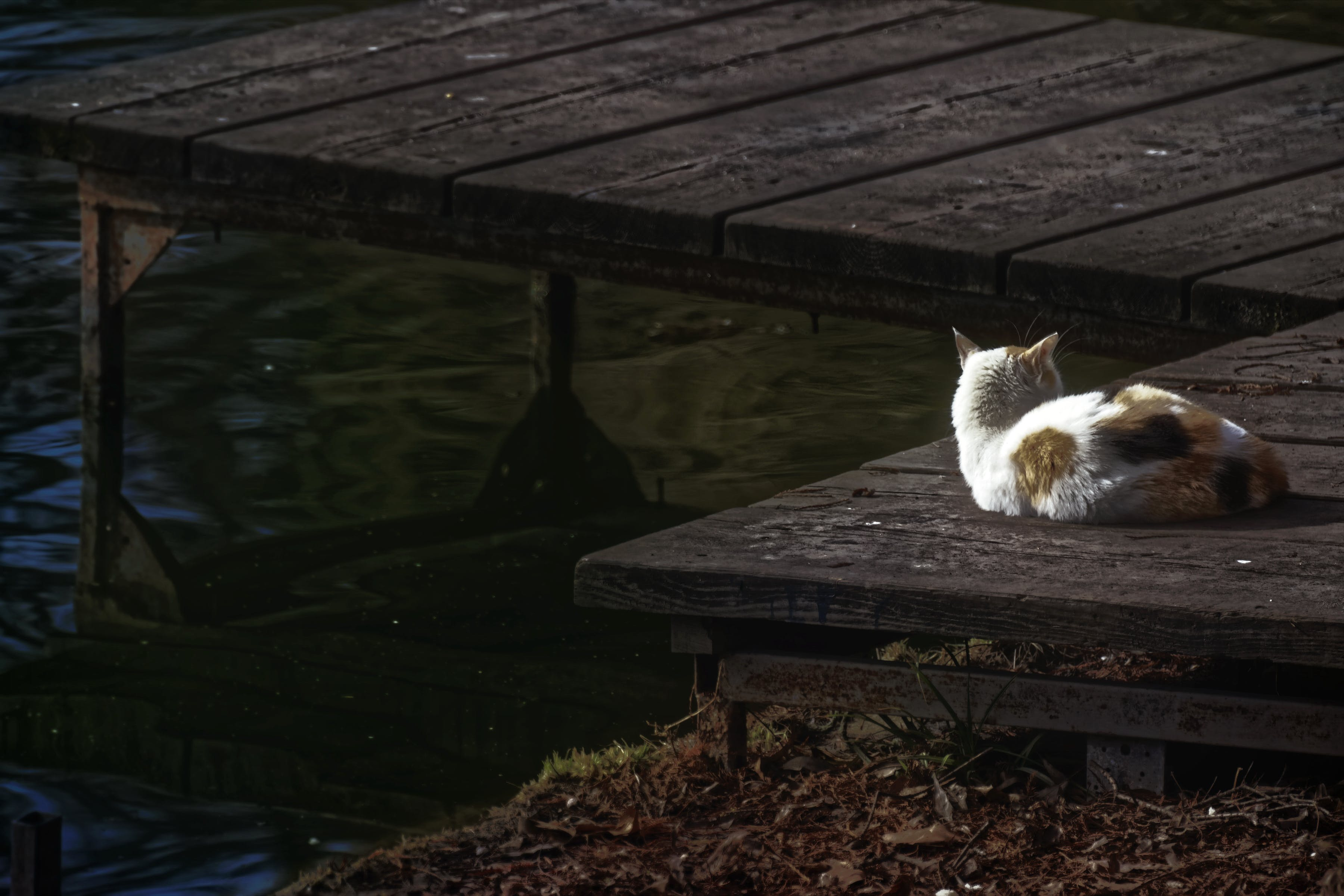 Free stock photo of animal, cat, cat sitting on a wood stand near a body of water, dried leaves