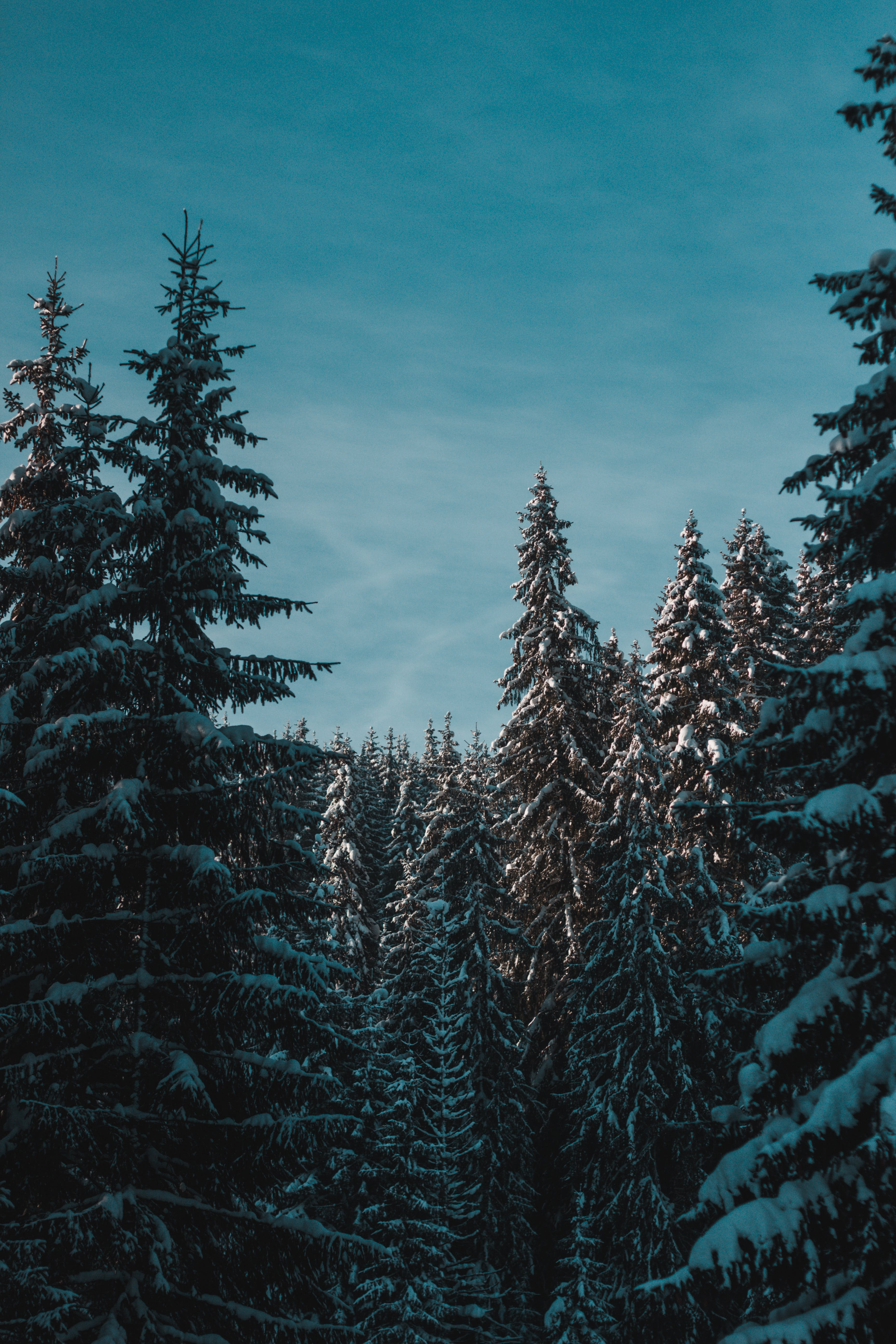 Photo of Pine Trees With Snow Under Blue Sky