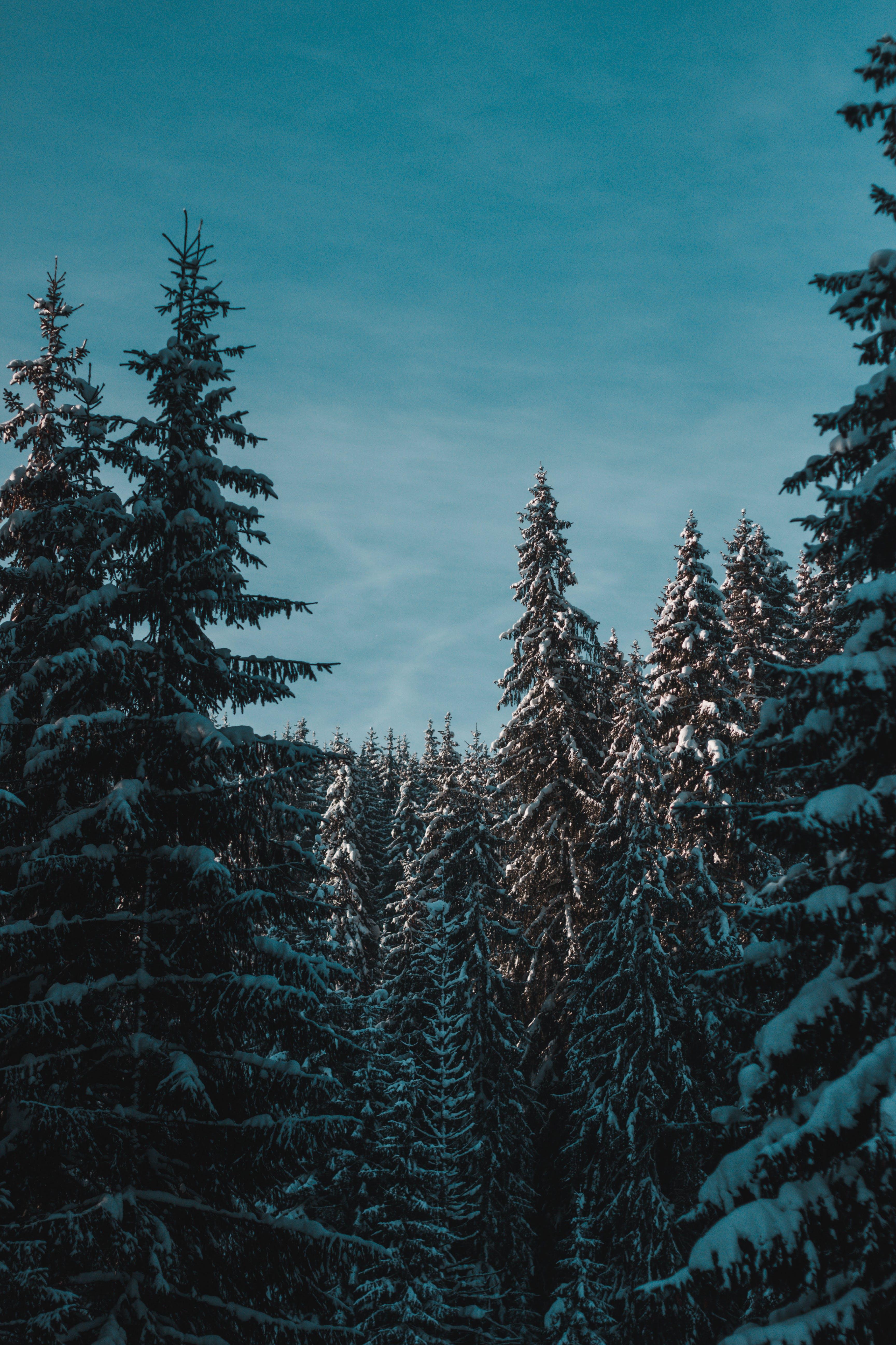 Δωρεάν στοκ φωτογραφιών με αειθαλής, γαλάζιος ουρανός, δασικός, έλατα