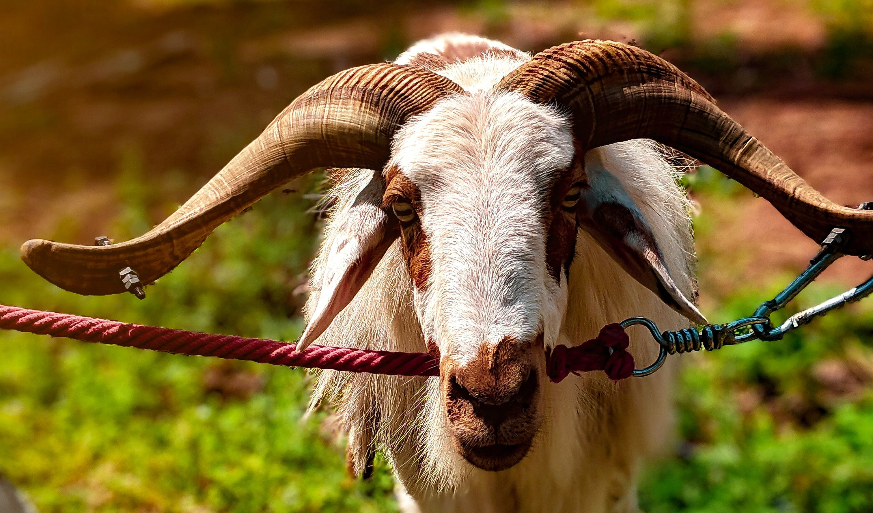 Gratis lagerfoto af 4k-baggrund, dyr, ged, geder