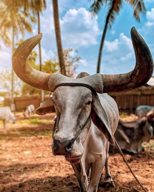 Fotobanka sbezplatnými fotkami na tému 4k tapety, kovboj, krava, štýlová tapeta