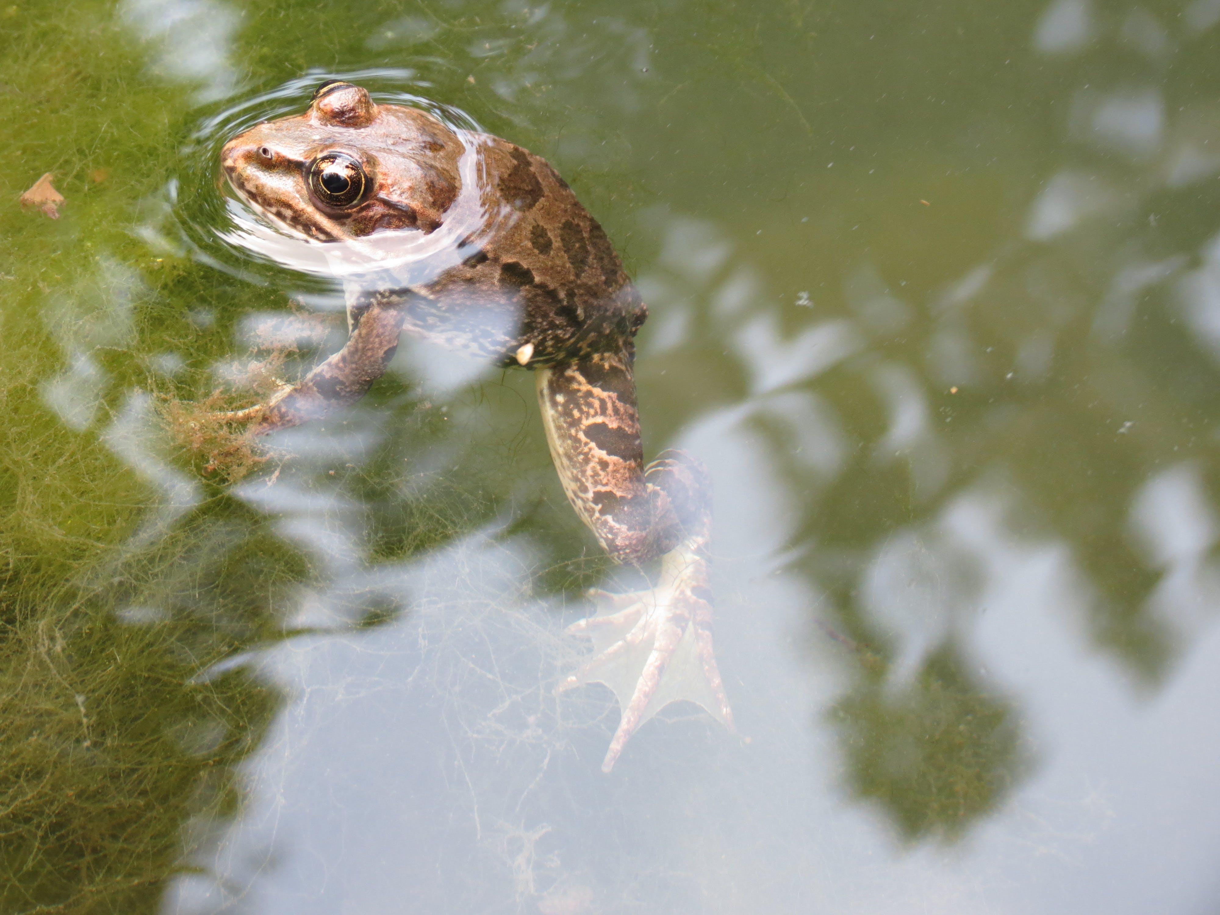 두꺼비, 물, 물속에 두꺼비, 자연의 무료 스톡 사진