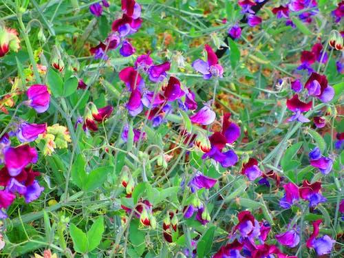 Free stock photo of Sweet peas flowers buds purple green garden 555555