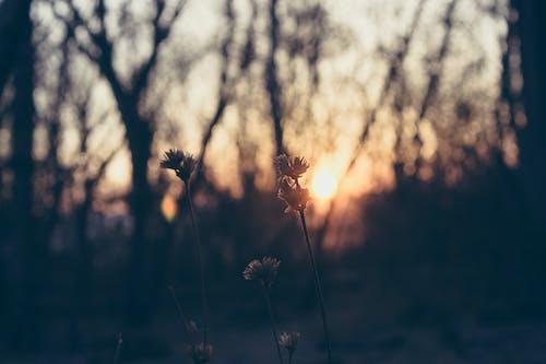 Kostenloses Stock Foto zu blumen, dämmerung, flora, pflanze