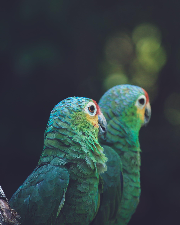 Two Green Parrot Birds