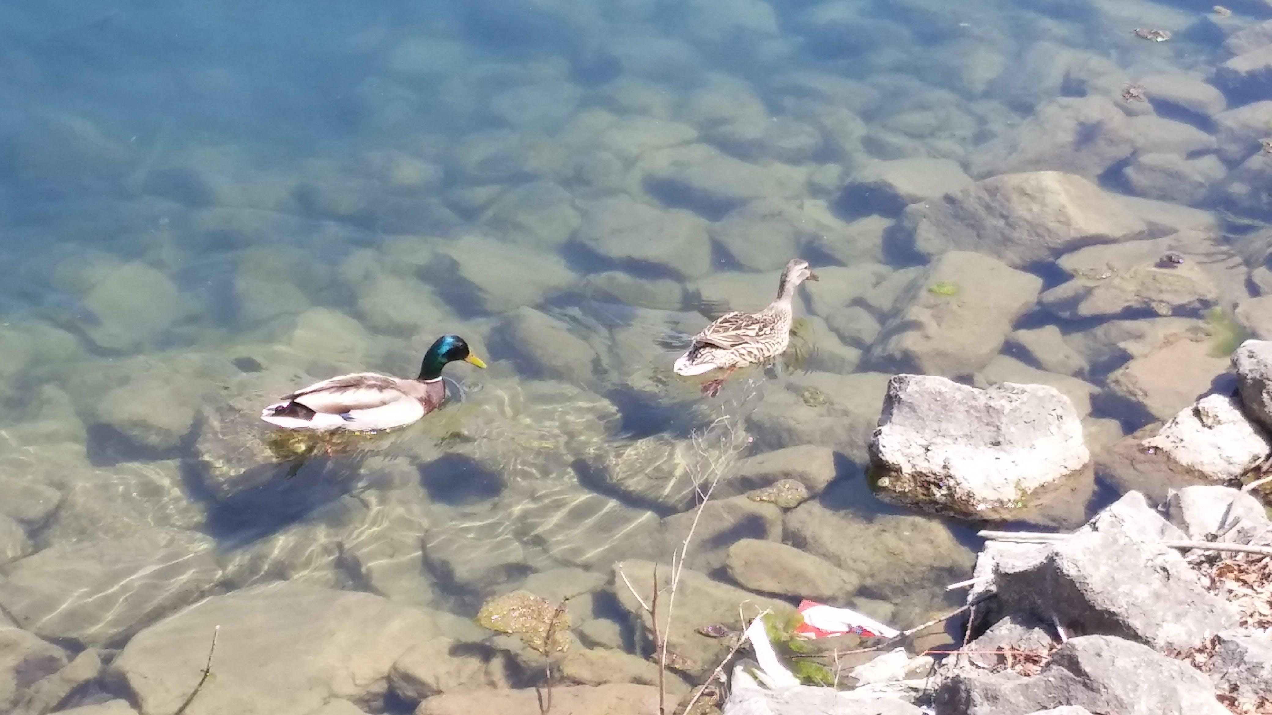 Free stock photo of ducks, rocks