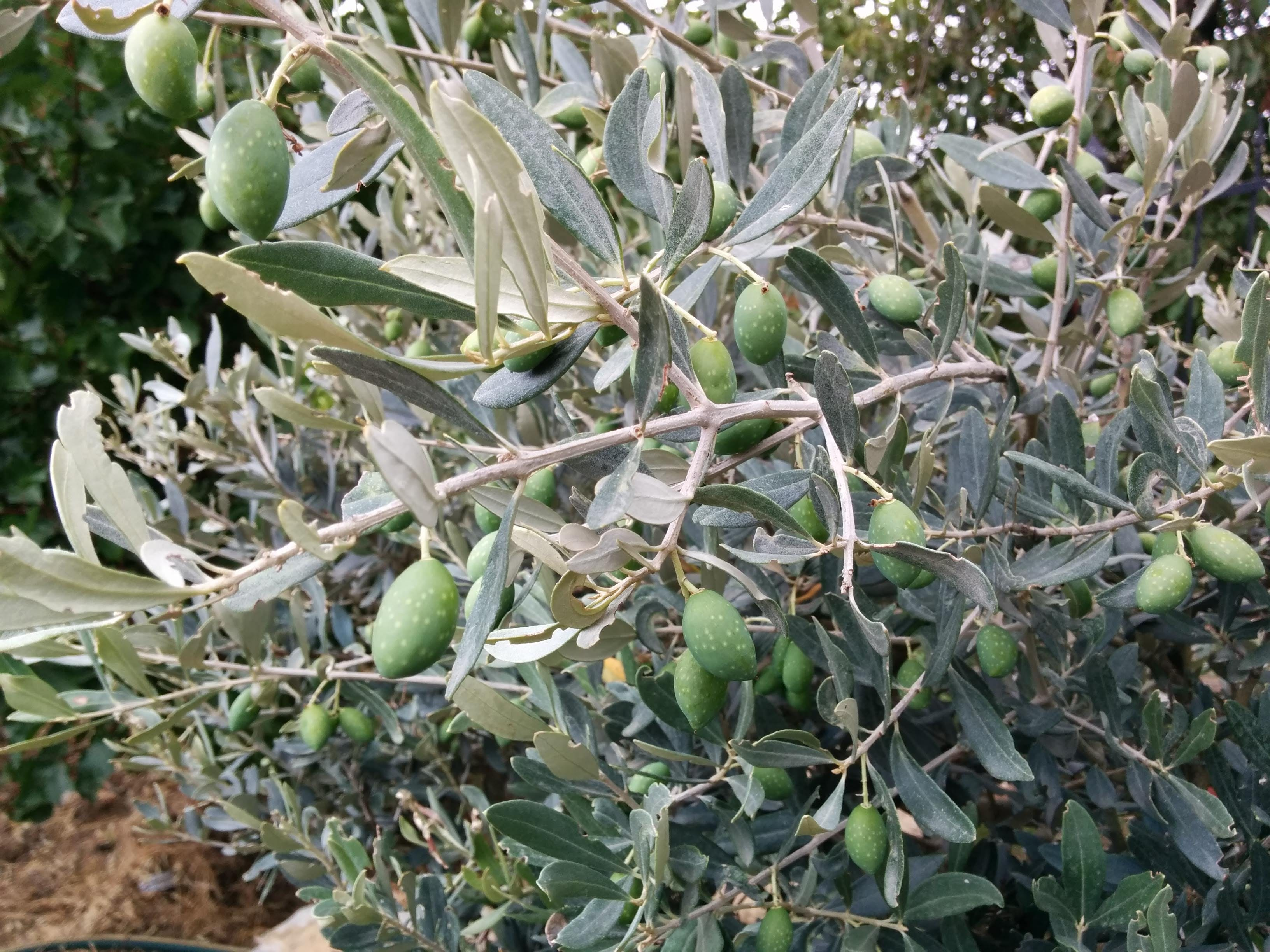 Free stock photo of green olives, olive tree, olives