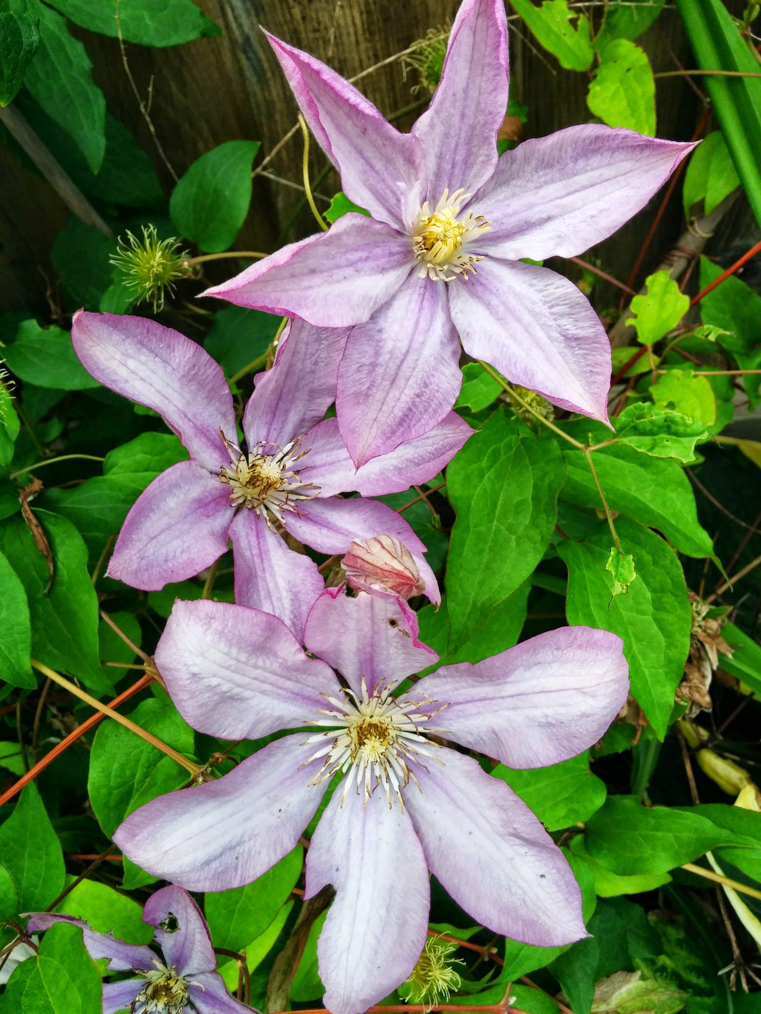 Free stock photo of Clematis 'Jackmanii' flowers, flowers, garden, purple flowers
