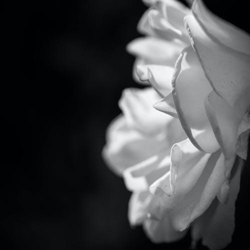 Free stock photo of beautiful, beautiful flowers, black and white, flower