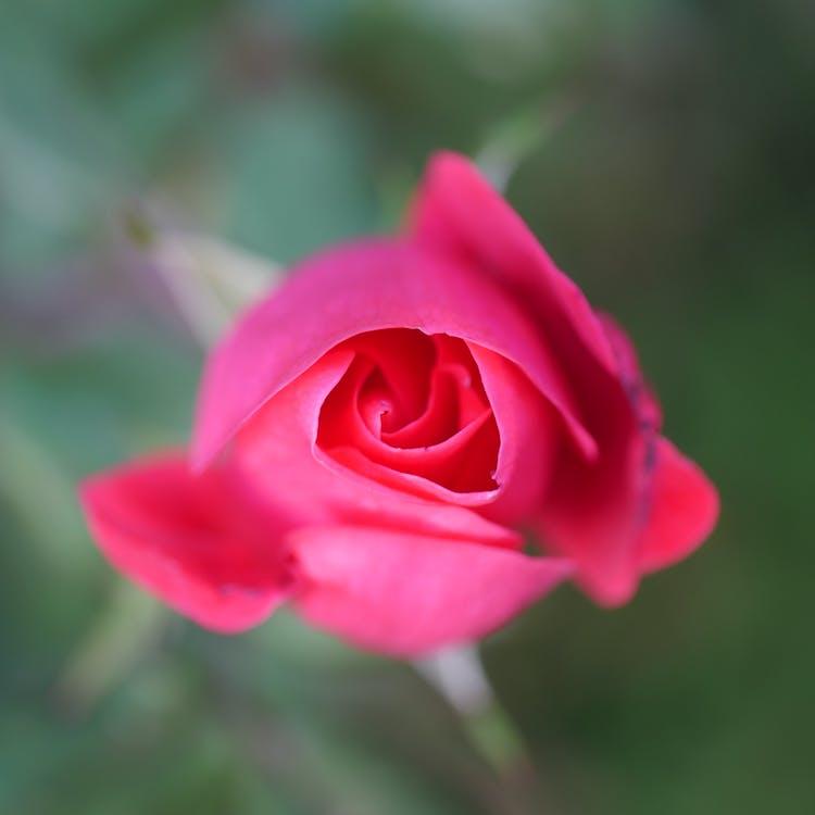 blomma, grön, knockout rose